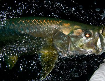 islamorada-tarpon-fishing