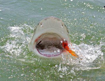 shark-fishing-in-the-keys